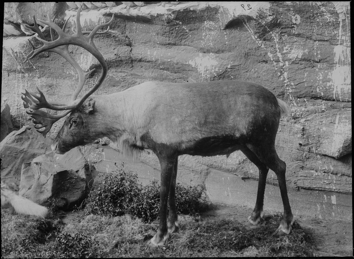 Diorama från Biologiska museets utställning om nordiskt djurliv i havs-, bergs- och skogsmiljö. Fotografi från omkring år 1900. Biologiska museets utställning Ren Rangifer Tarandus (Linnaeus)