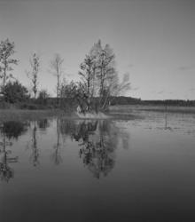 Ridtävling, 5/10 1947. Genväg över en grund göl.