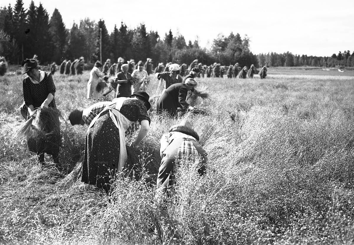 Linskörd. Reportage för Gefle Dagblad, den 18 Augusti 1943.