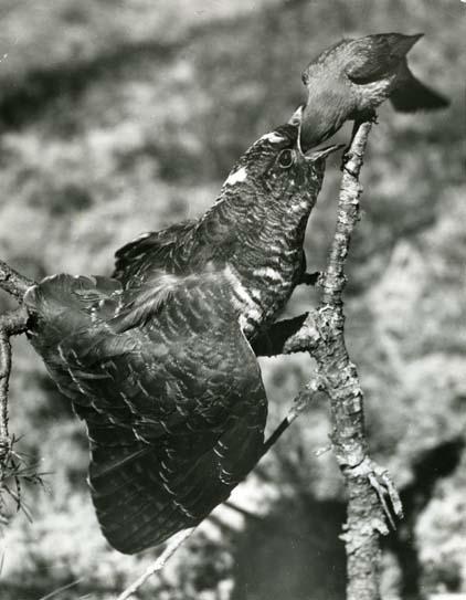 Gökunge som matas av rödstjärthona. En nu nästan klassisk fågelbild. Den första av Hildings fotografier som gick ut över världen.