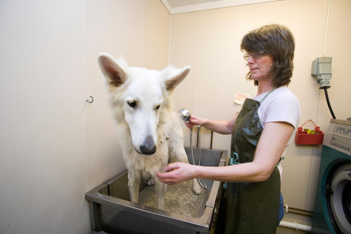 Førerhundskole. En hund på skolen blir stelt.