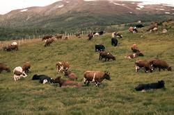 Kyr på fellesbeitet på Kvæfjordeidet.