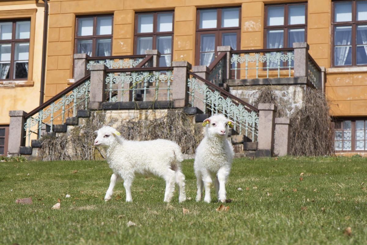 Lam på Bogstad Gård (Foto/Photo)