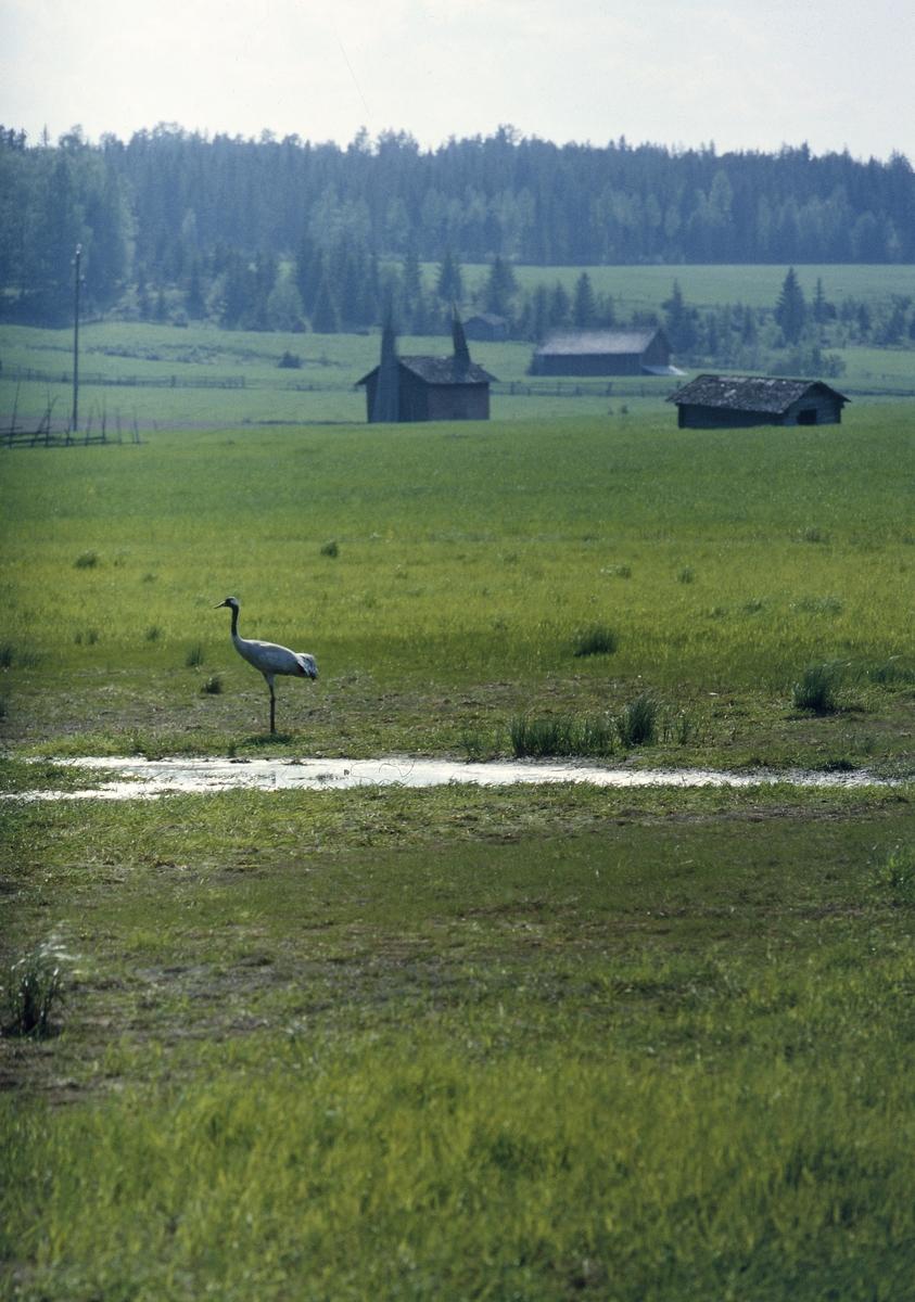 En trana vid en vattenpöl på en grönskande åker. I bakgrunden syns skog, lador och gärdesgårdar.