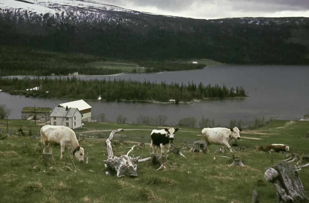 Utsikt over Unkervatnet i Hattfjelldal. Gård med beitende kyr, trerøtter.