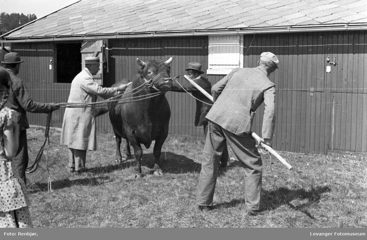 Dyreskue, oksen skal vises fram, gammel norsk husdyrrase, muligens rød trønder.