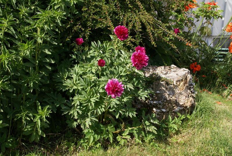 Dette eksemplaret i en hage i Sandnes i Rogaland kommer opprinnelig fra en hage på øya Bokn. Hun som har den fortalte at hennes mor alltid fikk en bukett med slike blomster til fødselsdagen sin.