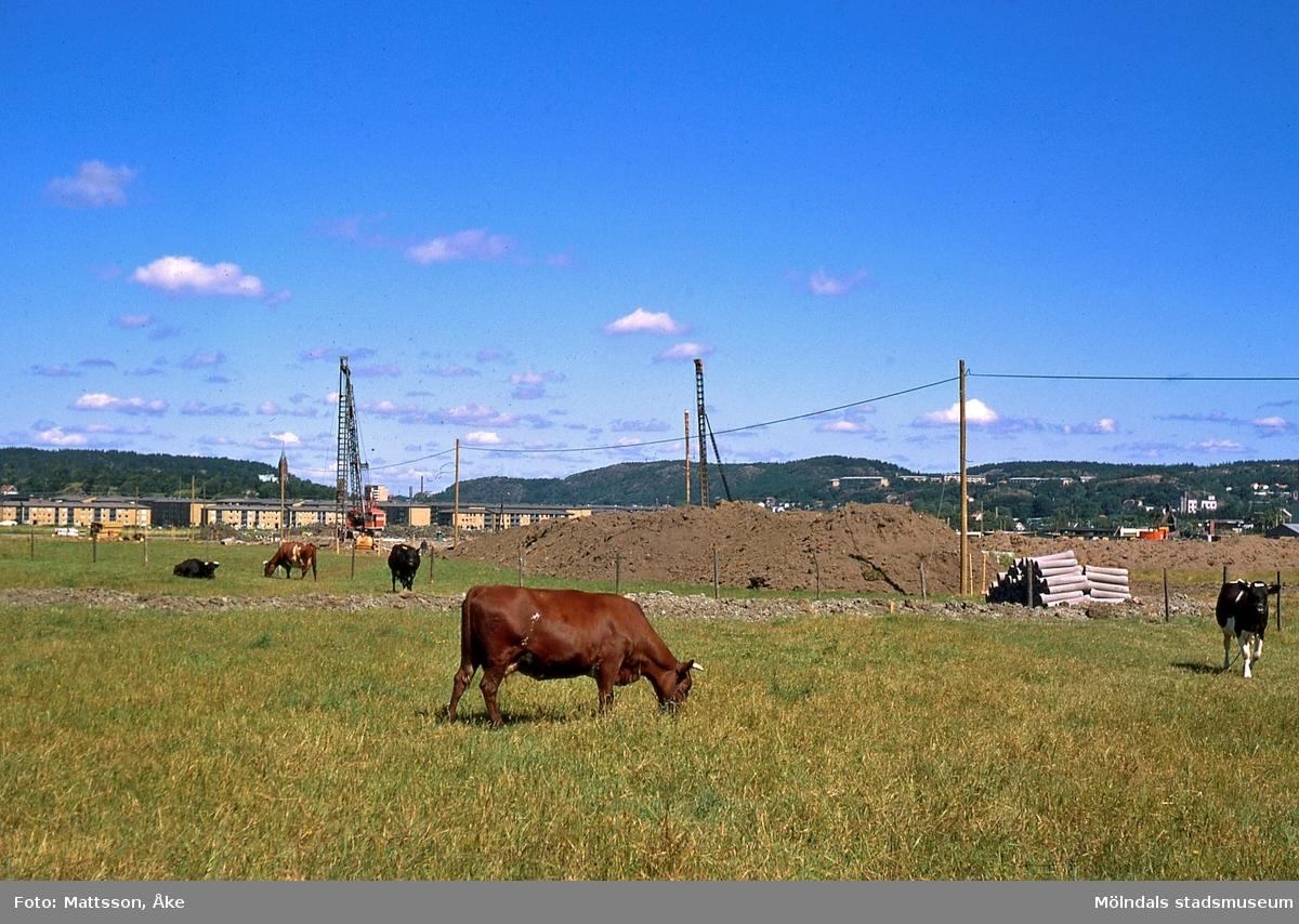 Per Eriksgården 2 i Kärra, Mölndal, på 1960-talet. Sven Hanssons kor på bete. I bakgrunden ses Åbro industriområde exploateras. ÅM 3:33.