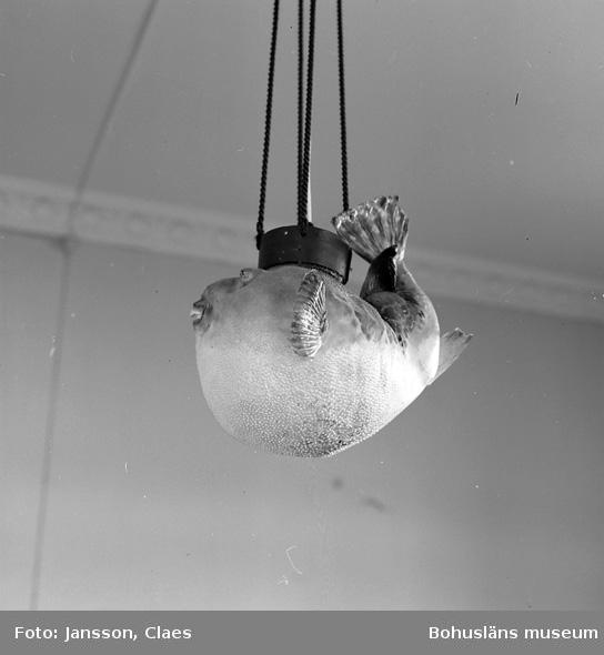 """Enligt uppgift: """"Papegojfisk - lampa ovanför bord i biblioteket. Lampan hängde ursprungligen i matsalen. Ur """"fiskens"""" mun hängde en ledningstråd för att ringa på betjäning""""."""