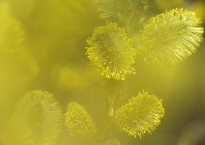 Gåsunger er blomsten til selja.