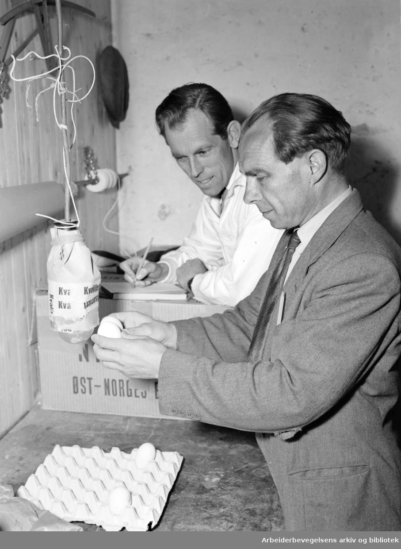 Eggkontrollen. Disponent Søreide og salgssjef Rohde-Hansen kontrollerer om eggene er i orden. Juli 1951