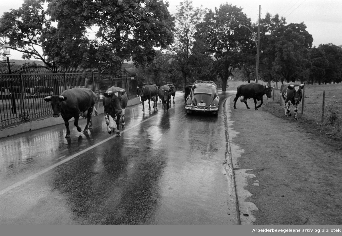 Bygdøy. Kongsgården. Hans Majestet Kongens kuer har tatt seg en tur på veien. Juli 1966