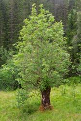Styvet asketre i (Fraxinus excelsior) i Grautaberget, ovenfo