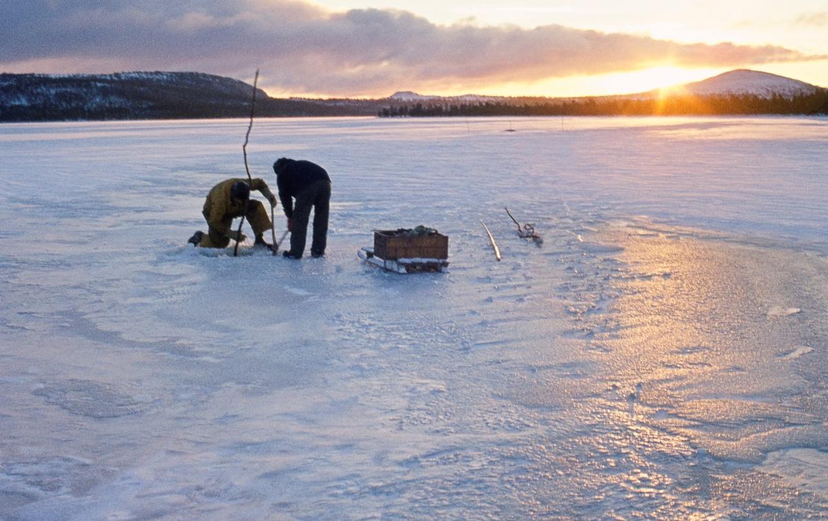 Herman Ingebrigtsen (1920-2010) og Magne Bjørnstad fra Øvre Rendal hogger istykker isskorpa på et hull i isen på innsjøen Isteren i Engerdal med sikte på å trekke garn.  På isflata ved siden av dem sto det en skikjelke med ei trekasse som skulle brukes til å transportere fangsten i.  Dette bildet ble tatt i midten av november 1972.  Ingebrigtsen og Bjørnstad (1926-1987) var blant de siste som praktiserte det såkalte «veslefisket».  Dette var et gytefiske etter sik, som foregikk på grunt vann utenfor Elvålsvollen, på vestsida av sjøen, fra 25. oktober og en måneds tid utover høsten.  Da fisket startet kunne det fortsatt være åpent vann og mulig å sette garn fra båt, men i løpet av gyteperioden la det seg alltid is.  Da måtte fiskerne vente litt, på at isen skulle få nødvendig bæreevne.  Ettersom det gjaldt å fiske mest mulig mens gytinga fortsatt pågikk, hendte det nok at karene stiltret seg ut på vel tynn is.  Ettersom det var grunt på gyteplassen ble det brukt garn som bare var cirka en meter brede.  Større garn ville lett har frosset fast i isen.  Garna ble satt gjennom hull i isskorpa.  Deretter ble de trukket jevnlig, og fangsten ble tatt ut, før garnet ble satt tilbake under isen.  Fisken frøs på stedet, men noe ble også saltet med sikte på mer langsiktig lagring.  I likhet med det mer langvarige vår- og sommerfisket i Isteren var «veslefisket» regulert gjennom et lottsystem.  Herman Ingebrigtsen på dette fotografiet, for eksempel, hadde bare en tolvdels lott, noe som innebar at han egentlig bare hadde anledning til å delta i fisket hvert tolvte år.  Han leide imidlertid rettigheter av andre, som i begynnelsen av 1970-åra ikke lenger brydde seg om å praktisere rettighetene sine.