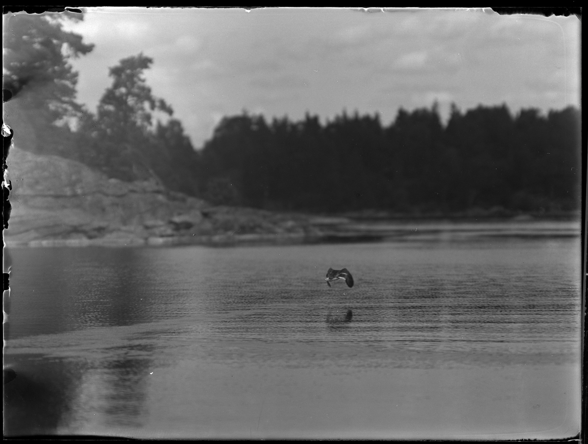 En and flyger över vattnet. I bakgrunden syns klippor.