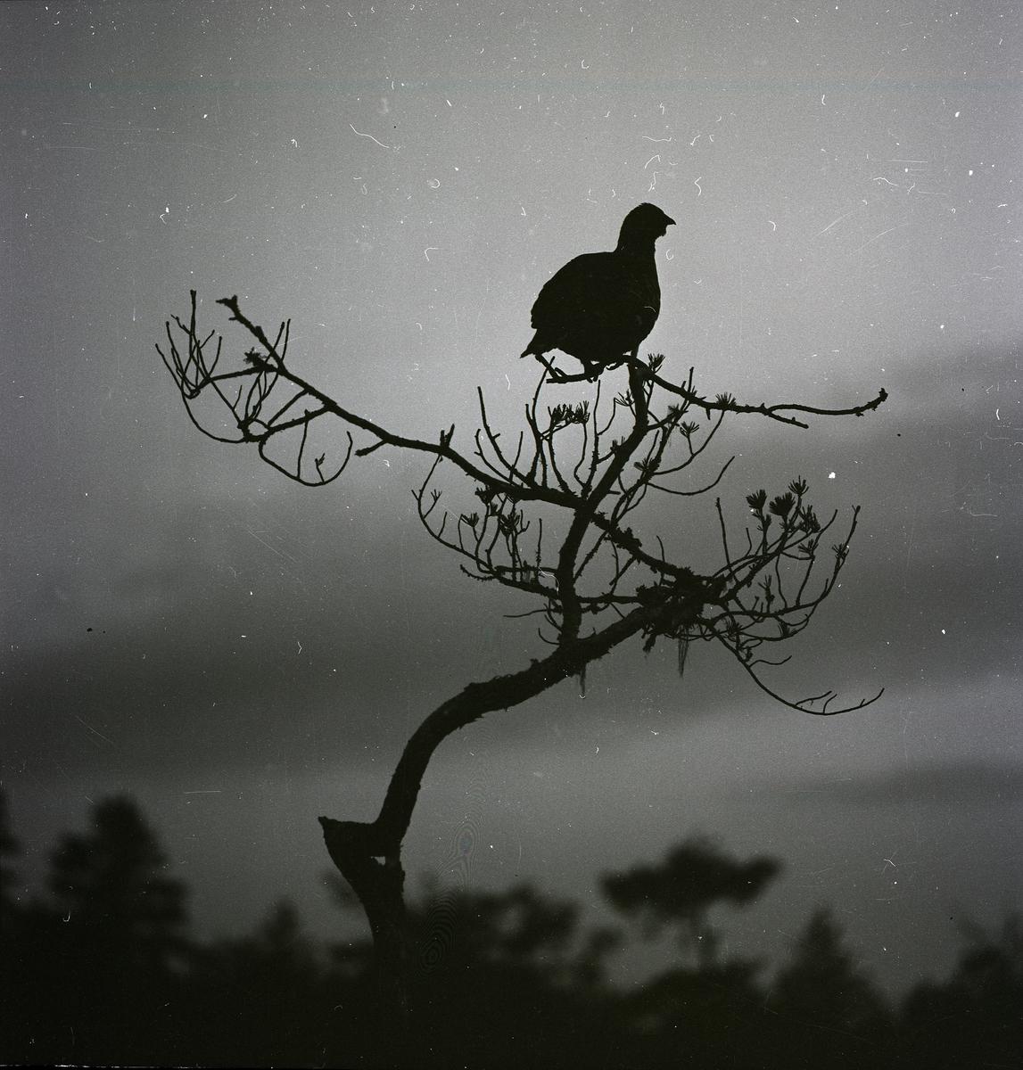 En tjädertupp sitter i toppen av ett träd och spelar den 30 april 1960.