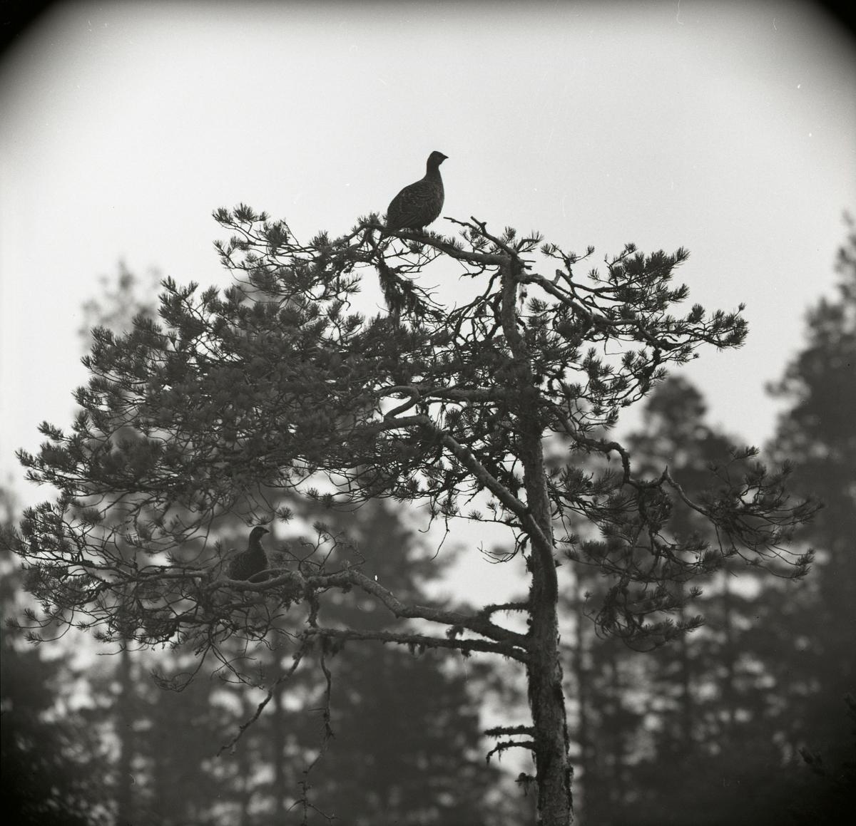 Två orrhönor i trädtopp den 30 april 1960.