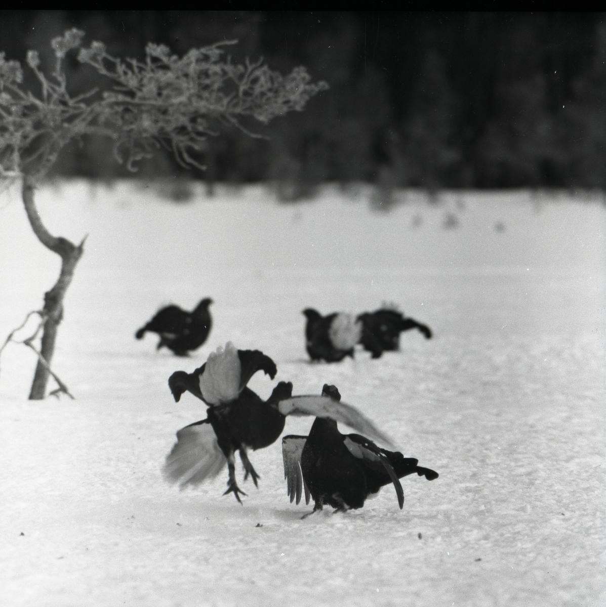 Orrtuppar spelar i snön vid en tall på påskdagen 10 april 1955.