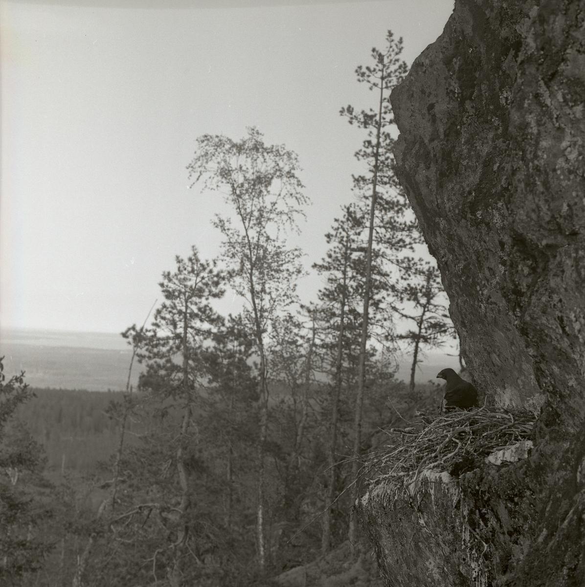 En korp sitter i ett fågelbo på klipphylla vid en skog 1962.