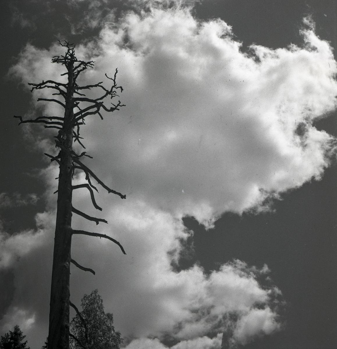 Ett dött och kalt träd, så kallad torrake, 1947.