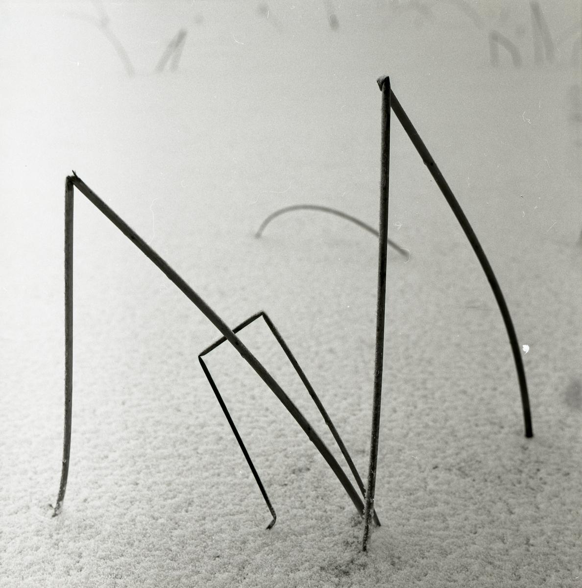 Två avbrutna vasstrån sticker upp ur snön och bildar en M-form.