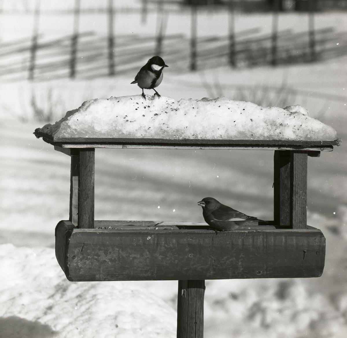 En talgoxe och en grönfink sitter på ett snötäckt fågelbord i mars 1965.