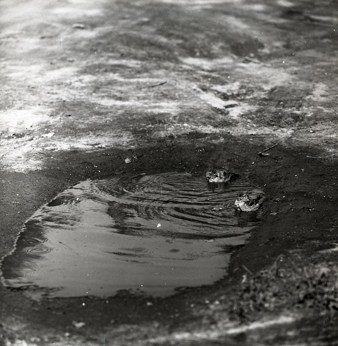 Två badande gråsparvar i en vattenpöl, augusti 1960.
