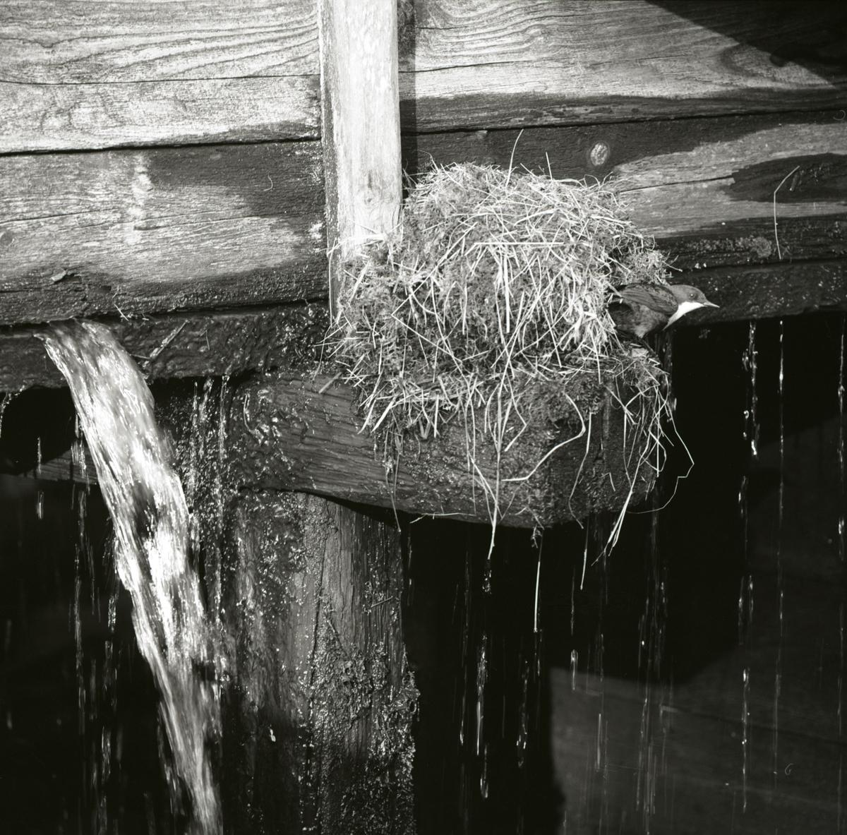 En strömstare titar ut från sitt bo. Boet är placerat på bron efter hasselavägen, 1967.