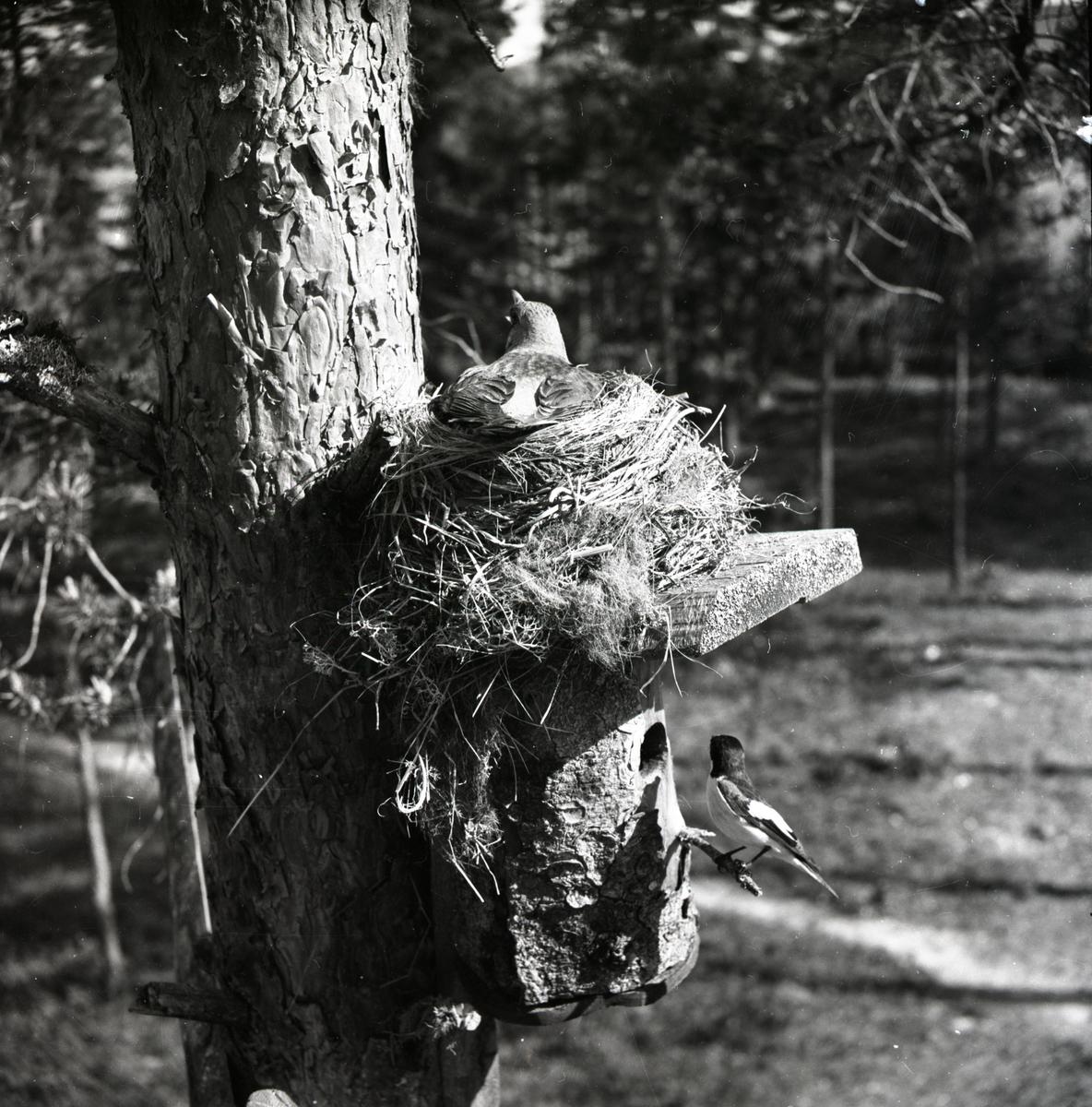 En flugsnappare har byggt bo i fågelholken och en trast har byggt sitt bo på holktaket i Skoghem, 1950.