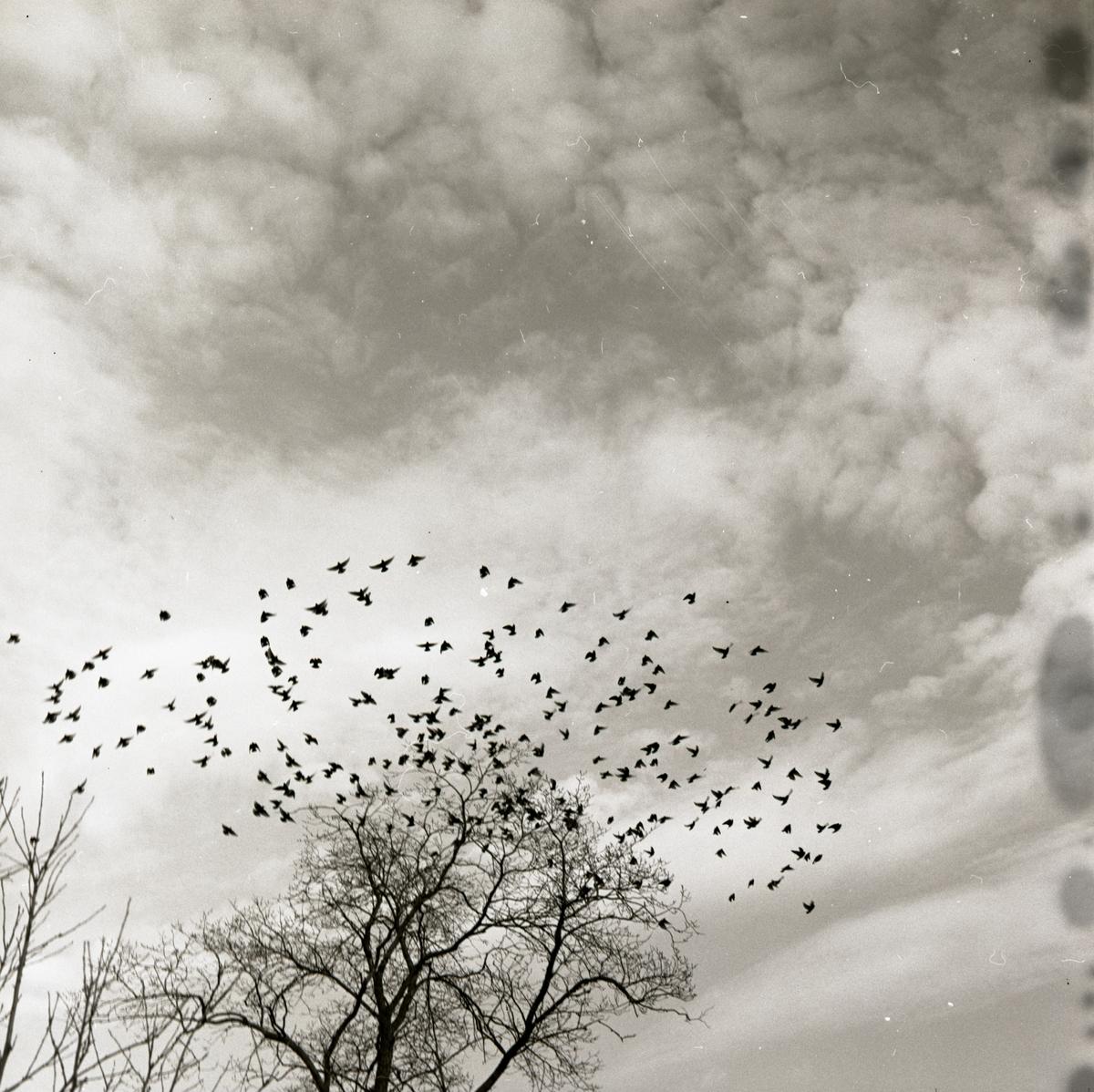 En flock starar lyfter från träden mot himlen, april 1967.