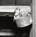 En grå flugsnappare har sitt bo i en ansjovisburk och matar sina ungar som ligger däri, 5 juli 1953.