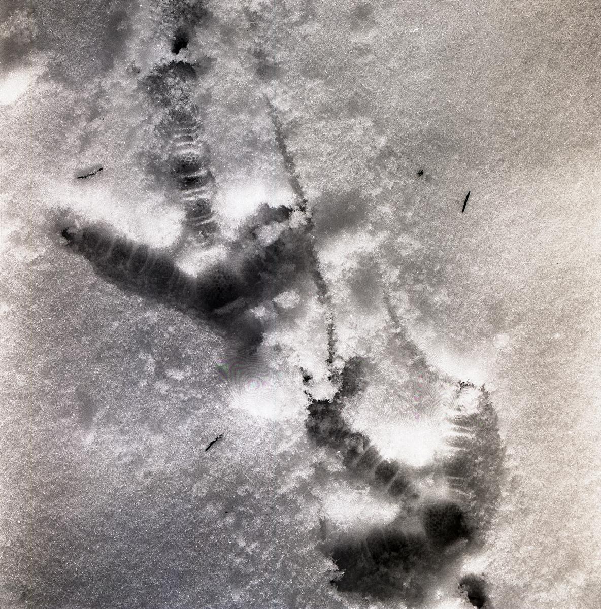 Spår i snön efter tjädrar, 10 april 1956.
