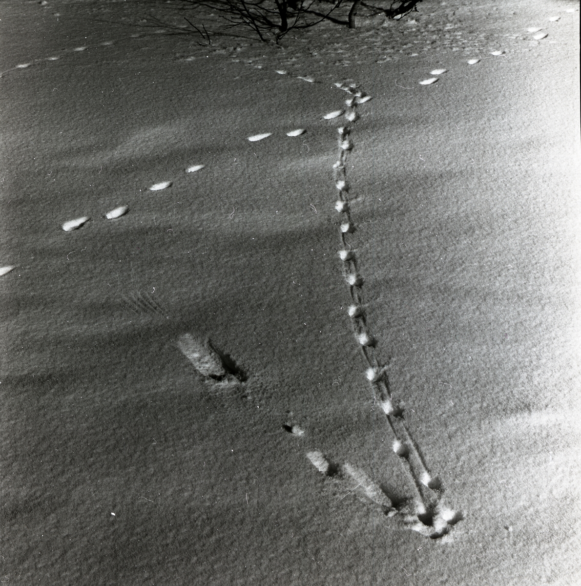 Spår från ripa i snön vid Storlien, mars 1960.