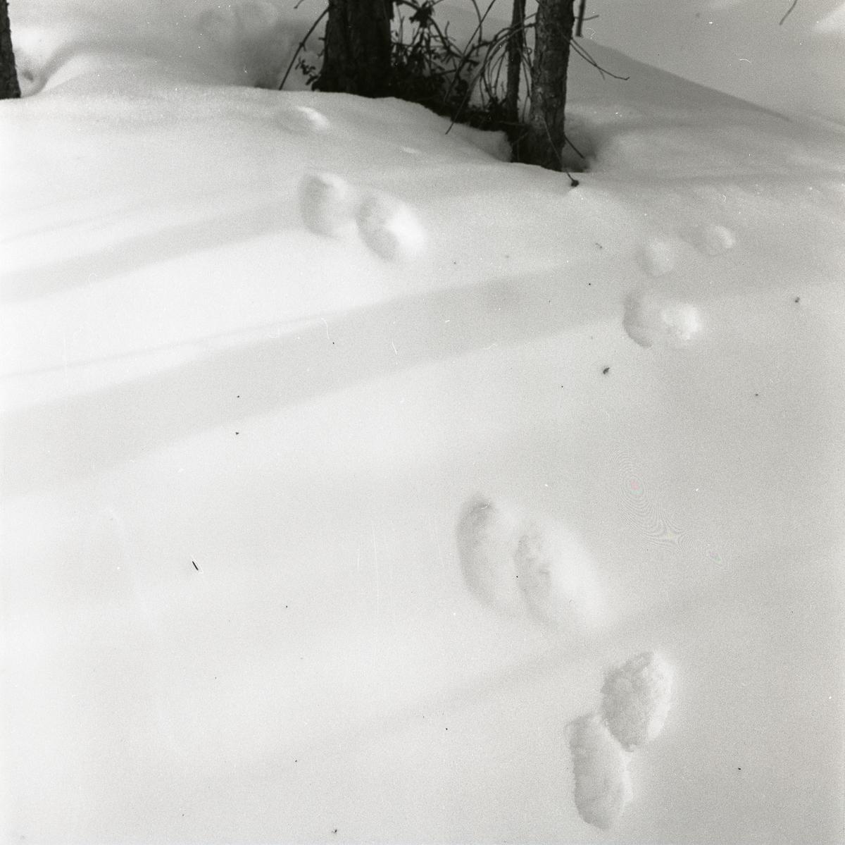 Djurspår i snön vid Lillhisjön, 6 april 1960.