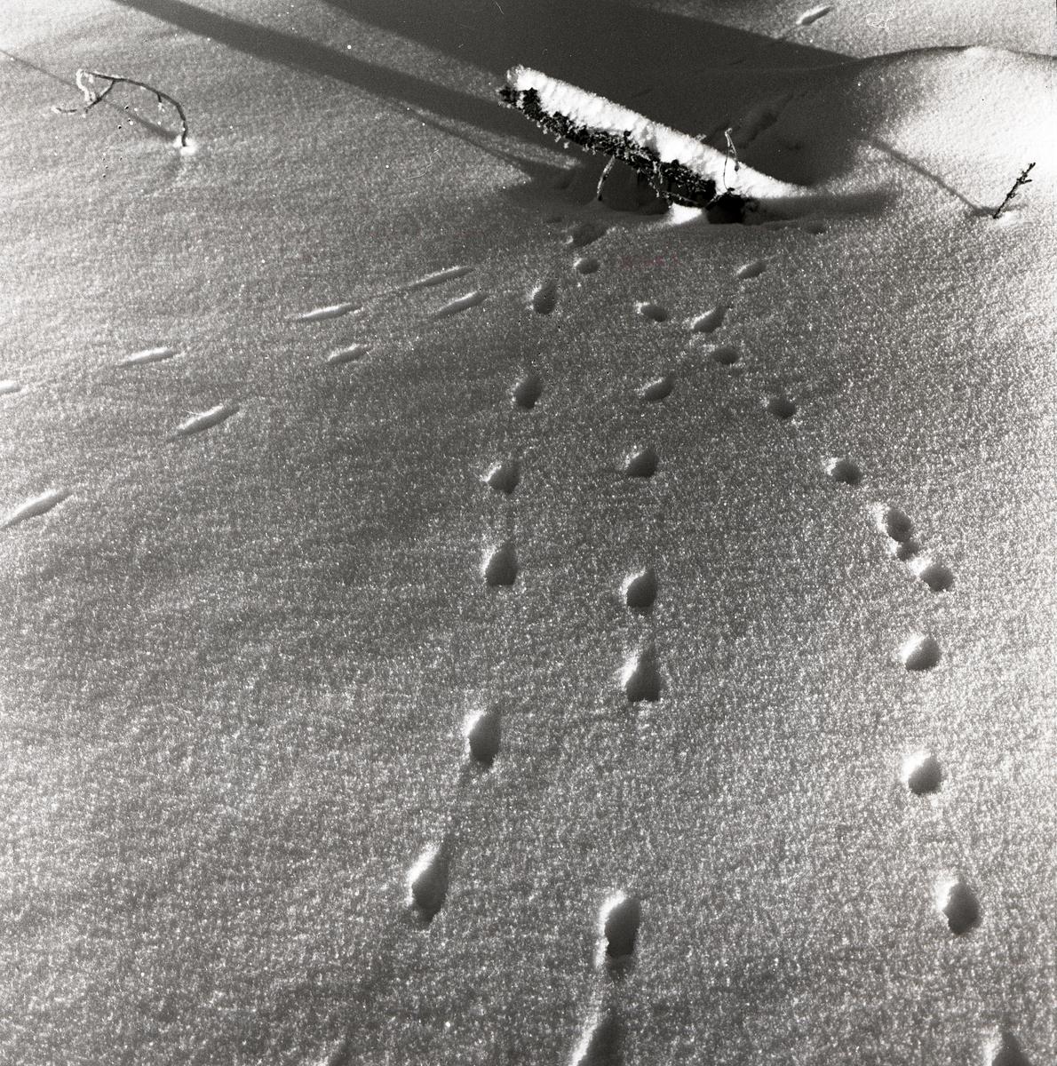Hermelinspår i snön, februari 1960.