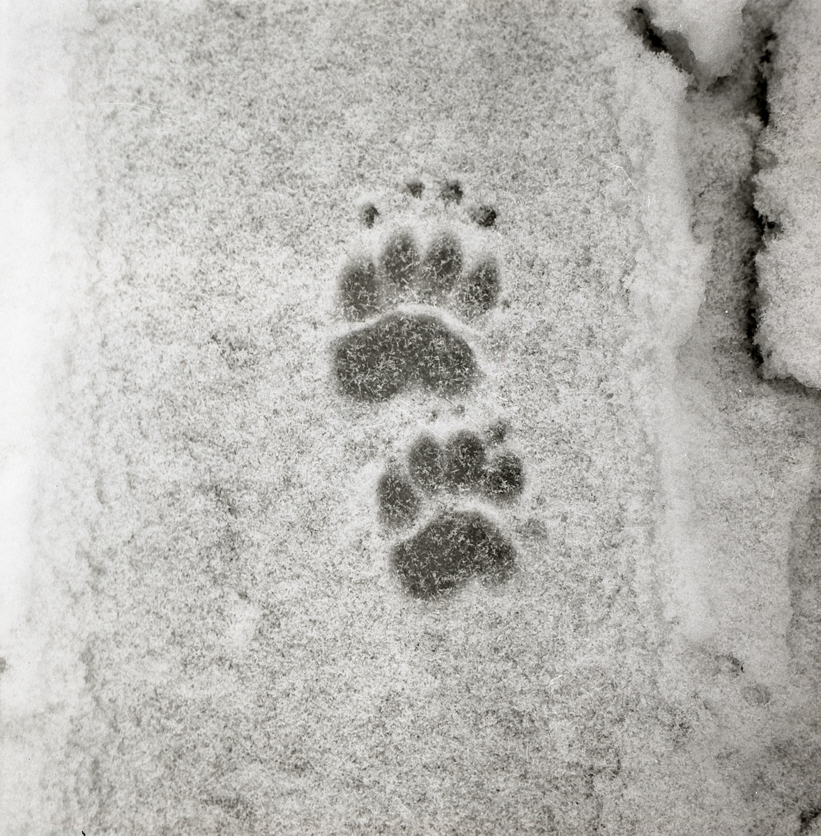 Djurspår i snön, 1972.