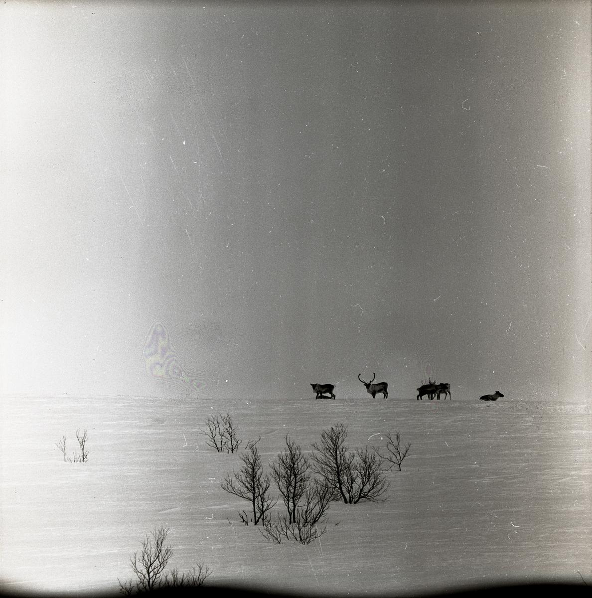 Renar vandrar på fjället Kirunavaara i Kiruna, 22 april 1958.
