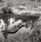 Ett älgkadaver i en vattenfylld grop på Fjällmyren, 26 juli 1959.