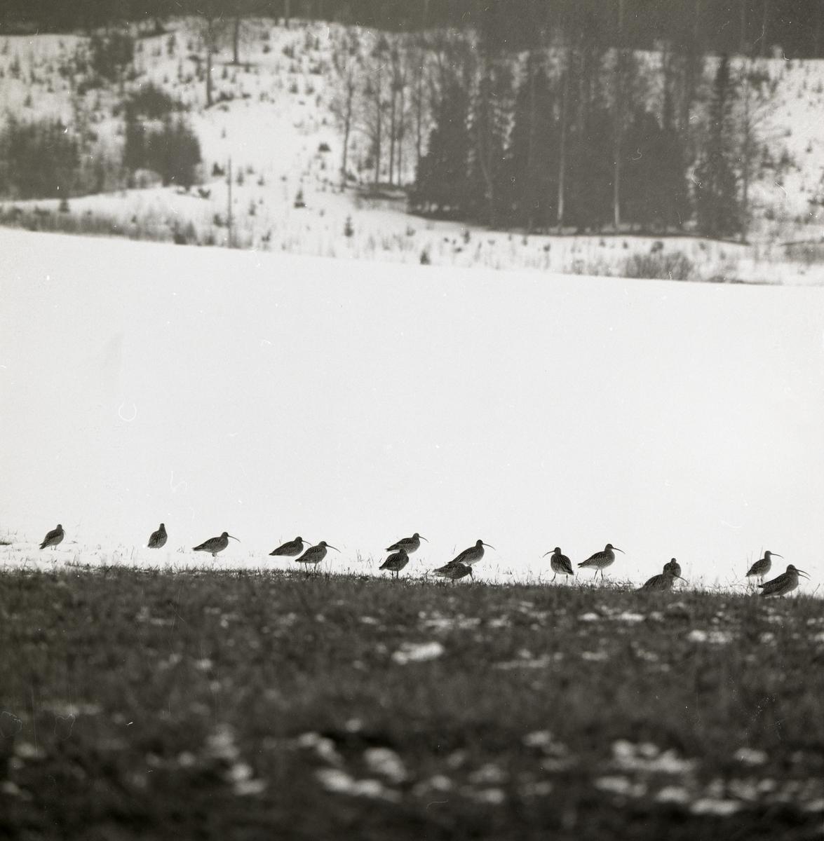 En flock med storspovar står på en stubbåker, mars 1971.