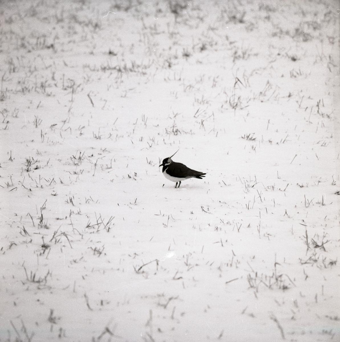 En tofsvipa står på en snötäckt mark där endast några grässtrån sticker upp, 1971.