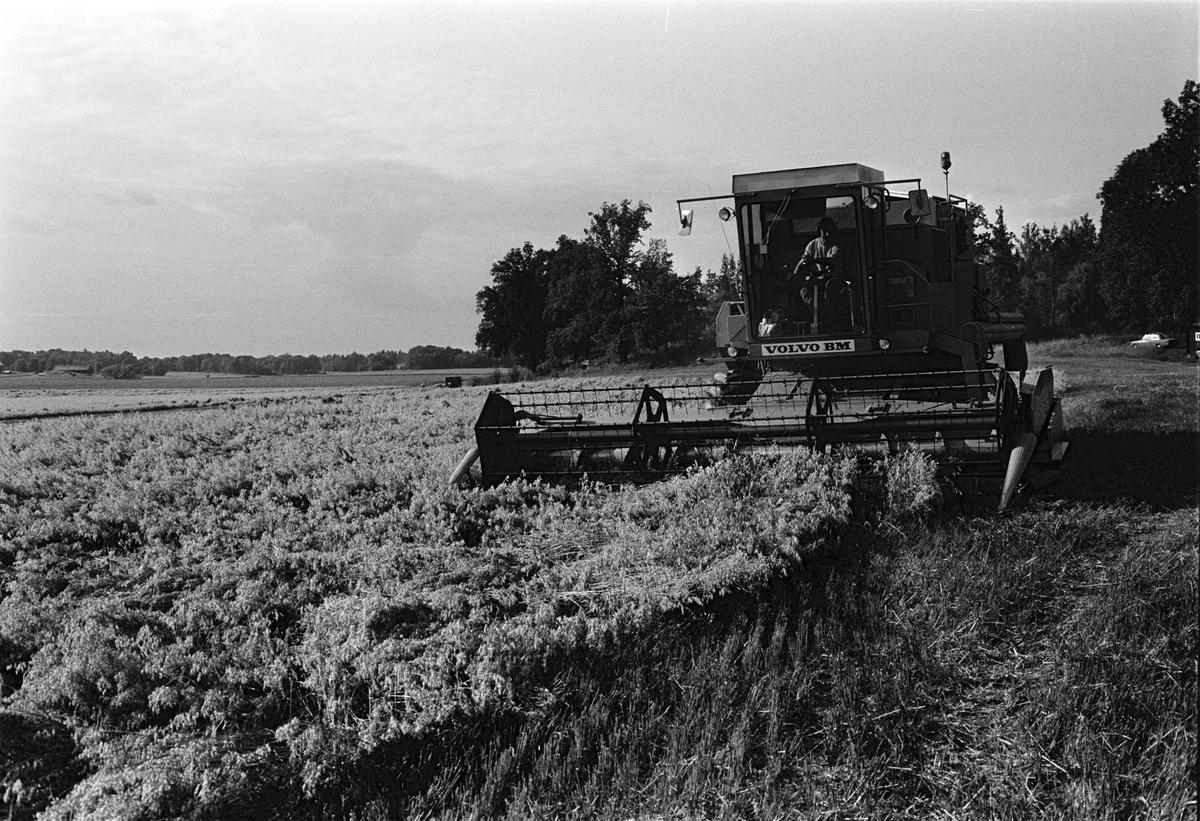 Traktorförare Folke Sundnäs tröskar havre, Hacksta gård, Enköpings-Näs socken, Uppland september 1981