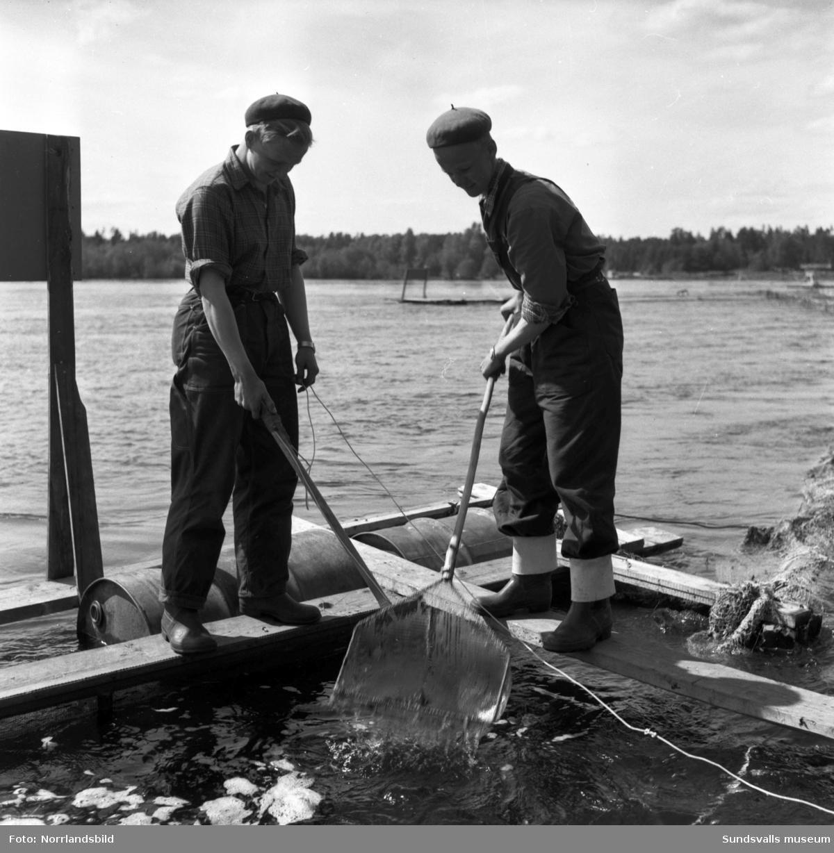 Arbete vid laxodligen i Bergeforsen, även en översiktsbild. På första bilden ses Stellan Höglund och Sören Nilsson.