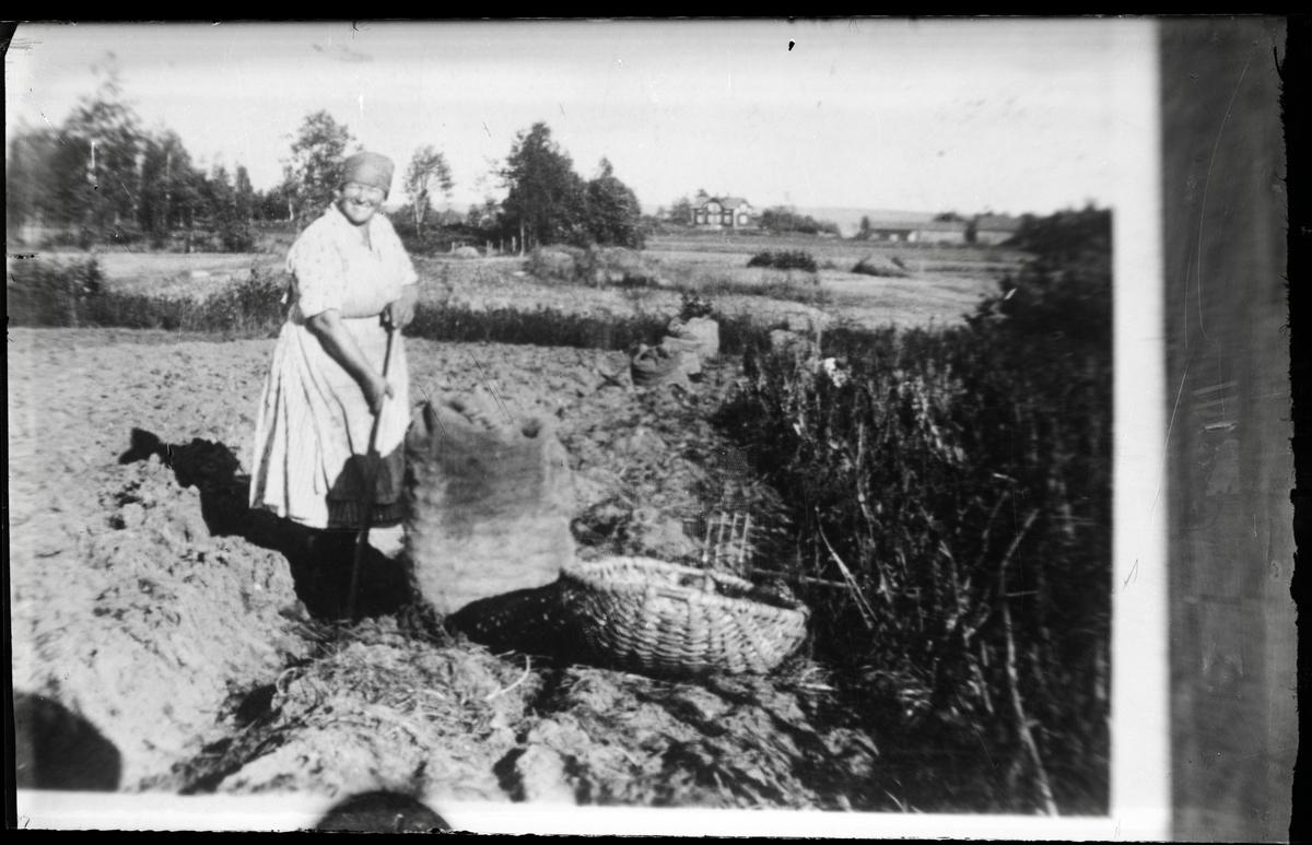 Kvinna i potatisåkern