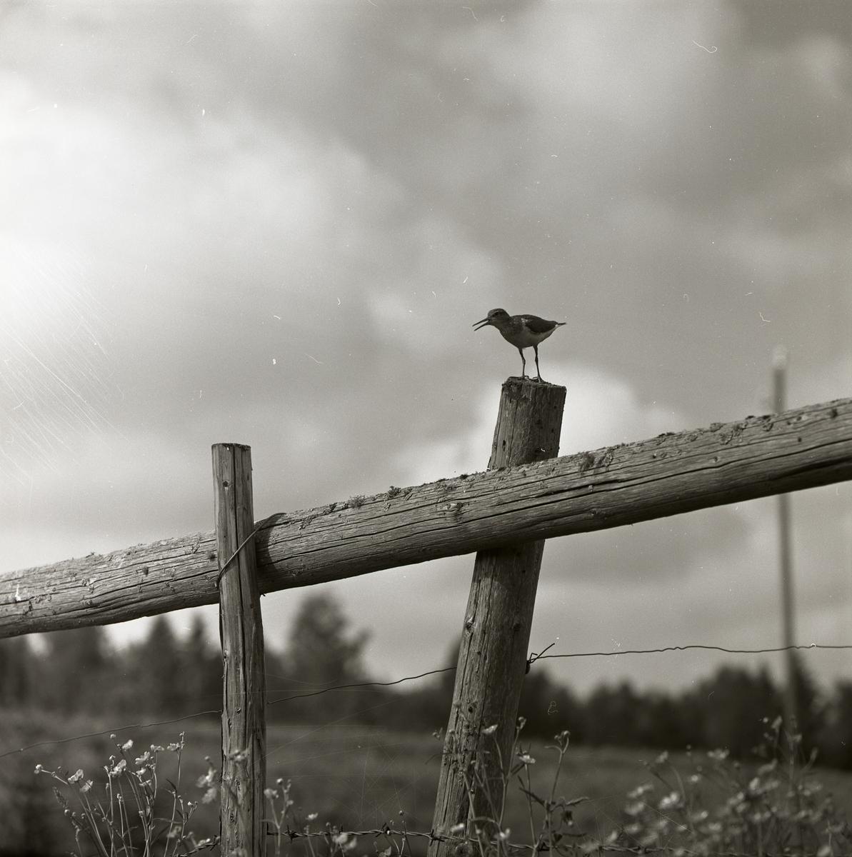 En drillsnäppa står på en staketstolpe, maj 1961.