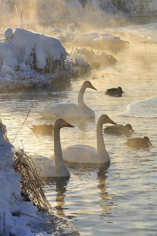 Foto av sangsvaner på vannet om vinteren (Foto/Photo)