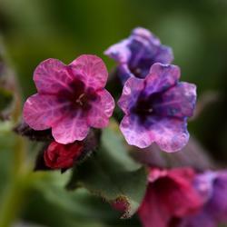 Lungeurt er en blomst med et fargestoff som bytter farge med PH-verdien, derfor kan den ha både rødlige og blålige blomster. (Foto/Photo)