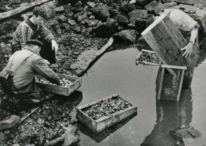 Menn i arbeid med østersoppdrett