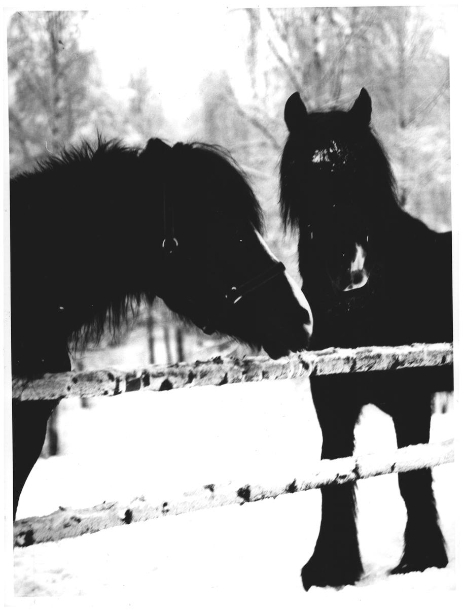 Dei svarte hestarne v. Trollvann. Medio febr.