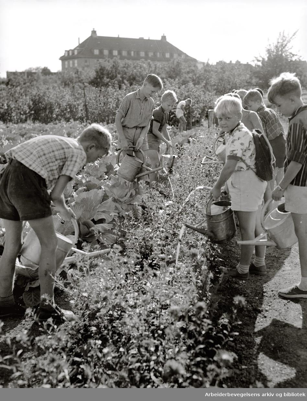 Geitmyra skolehage, juli 1955