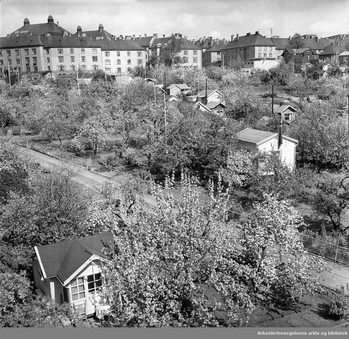 Rodeløkka kolonihage, .juli 1950